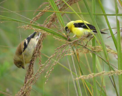 Photo of Panicum amarum American Goldfinch