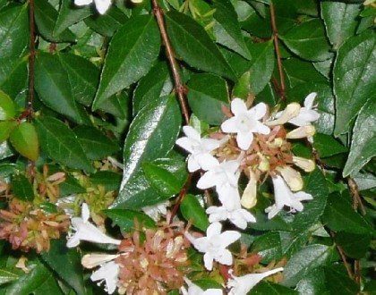 photo of Abelia x grandiflora