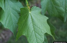 photo of Acer nigrum