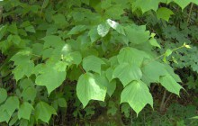 photo of Acer pensylvanicum