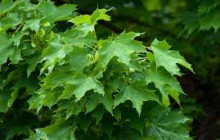 photo of Acer platanoides