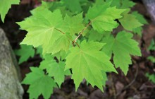 photo of Acer rubrum