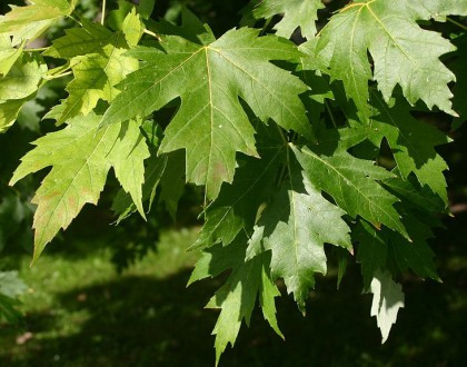 photo of Acer saccharinum