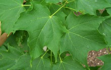 photo of Acer saccharum