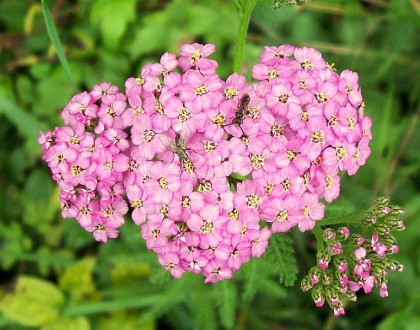 photo of Achillea spp.