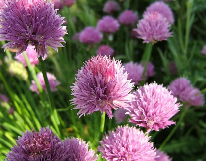 photo of Allium schoenoprasum