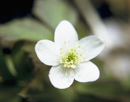 photo of Anemone quinquefolia