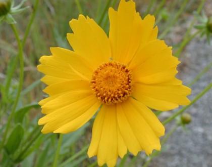 photo of Coreopsis lanceolata