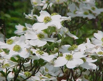 photo of Cornus florida