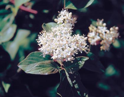 photo of Cornus sericea