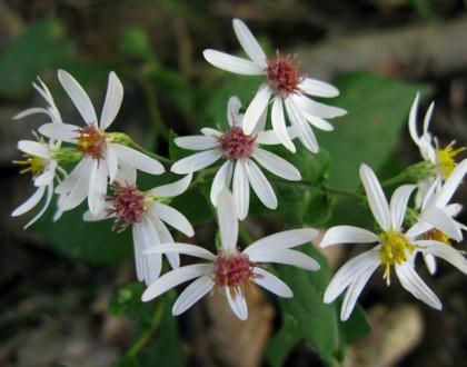 photo of Eurybia divaricata