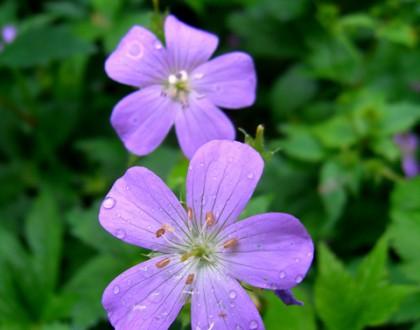 photo of Geranium maculatum