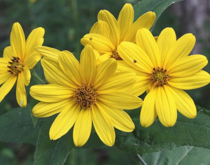 photo of Helianthus divaricatus