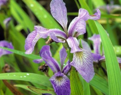 photo of Iris versicolor