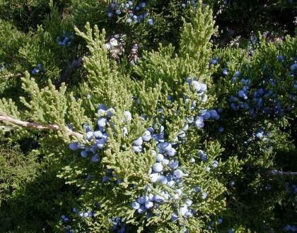 photo of Juniperus virginiana