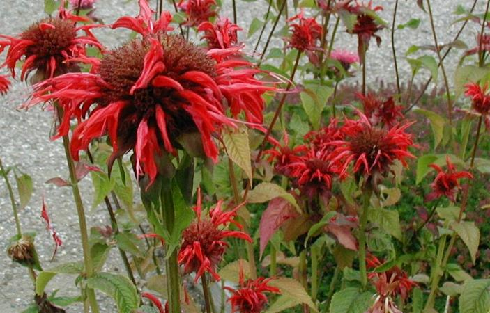 photo of Monarda didyma