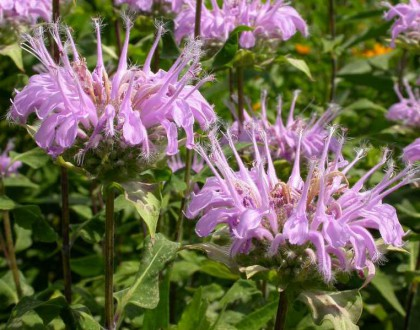 photo of Monarda fistulosa