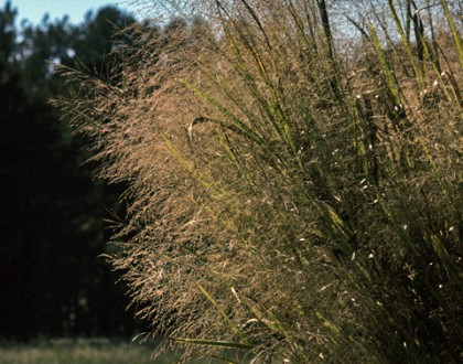 photo of Panicum virgatum