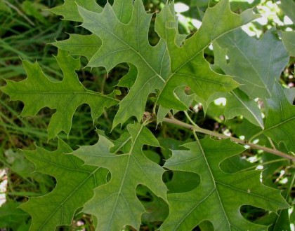 photo of Quercus palustris