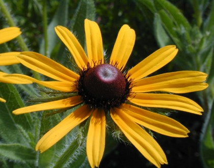 photo of Rudbeckia hirta