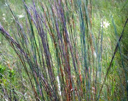 photo of Schizachyrium scoparium