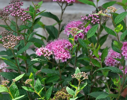 photo of Spiraea japonica