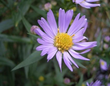 photo of Symphyotrichum novi-belgii
