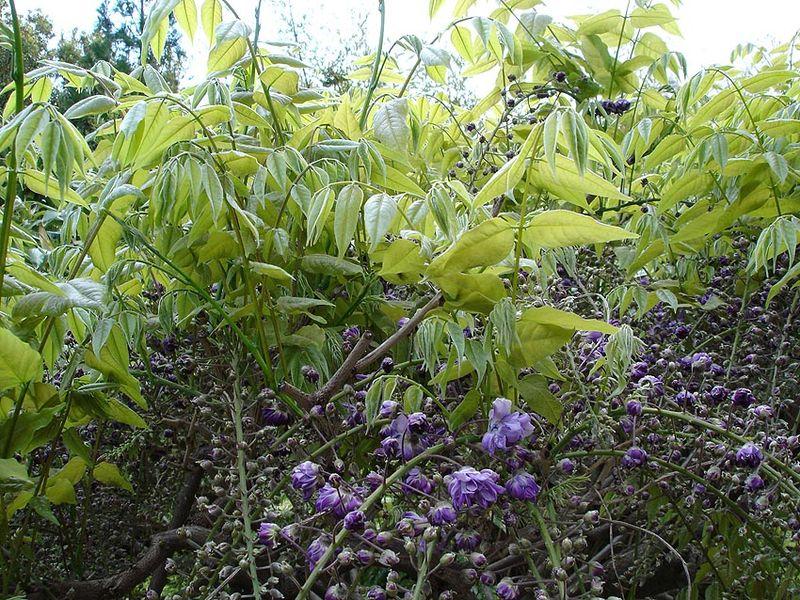 photo of Wisteria floribunda