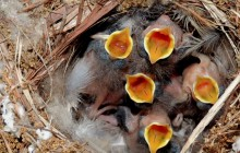 photo of wrens in a nest