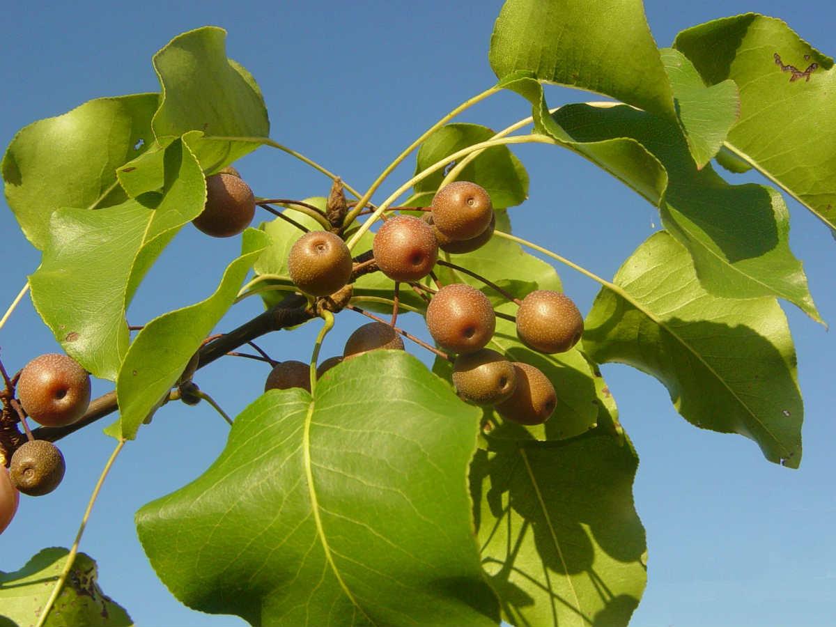 invasive callery pear trees