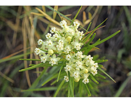 Photo of Asclepias verticillata