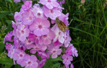 Photo of Phlox paniculata