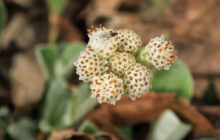 Photo of Antennaria plantaginifolia