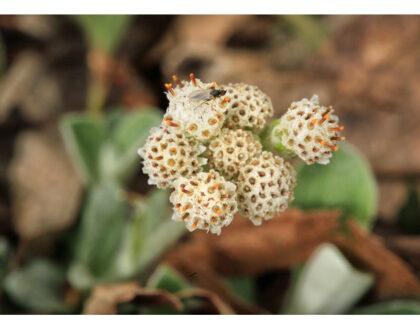 Photo of Antennaria plantaginifolia