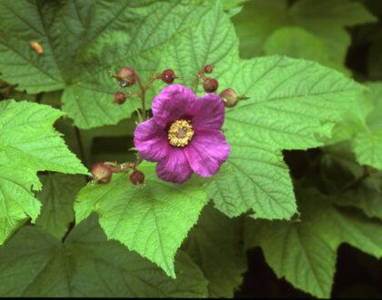 Photo of Rubus ordoratus