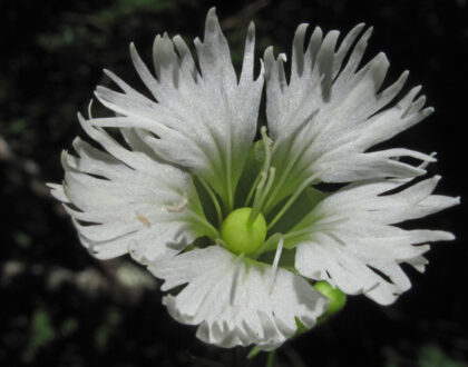 Photo of Silene stellata