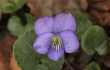 Photo of Viola sororia
