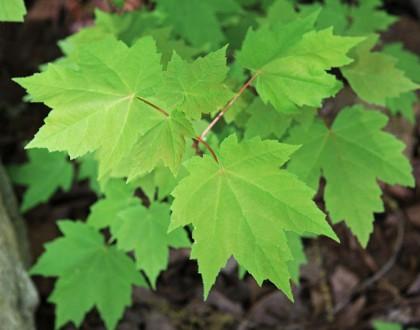 photo of Acer rubrum
