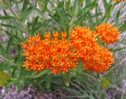 photo of Asclepias tuberosa