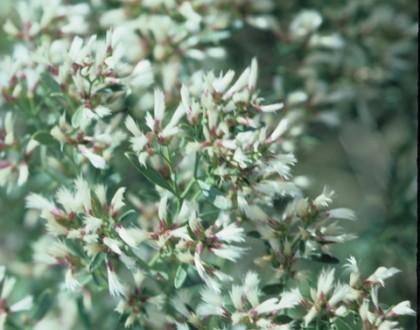 photo of Baccharis halimifolia