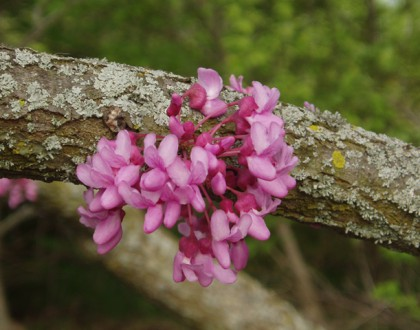 photo of Cercis canadensis