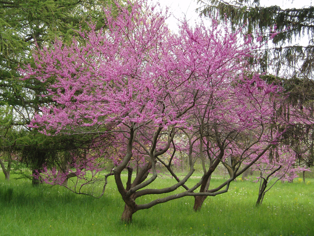 Cercis Canadensis Jersey Friendly Yards