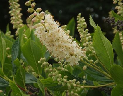 photo of Clethra alnifolia
