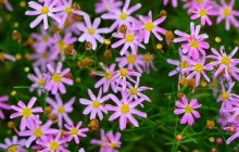 photo of Coreopsis rosea