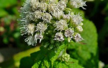 photo of Eupatorium perfoliatum