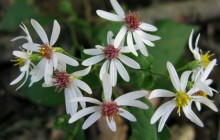 White Wood Aster in Shade Garden
