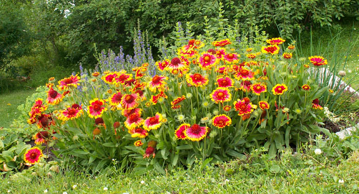 Gaillardia X Grandiflora Jersey Friendly Yards