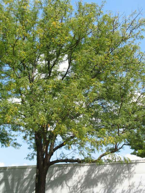 Gleditsia Triacanthos Var Inermis Jersey Friendly Yards