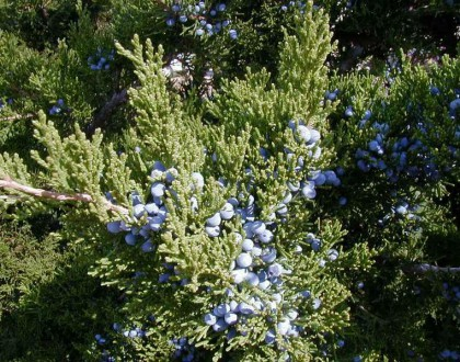 photo of Juniperus virginiana