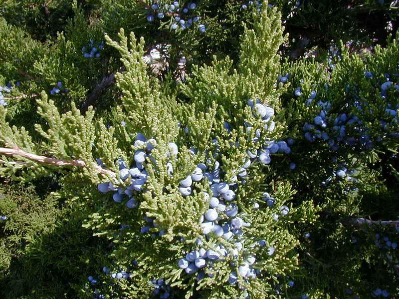 Juniperus Virginiana Jersey Friendly Yards